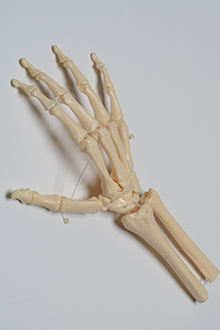 Skeleton - right hand model