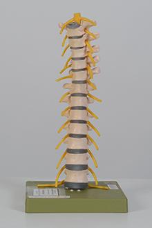 Thoracic vertebral model