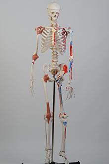 Skeleton model #1