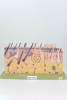 Human skin model #2