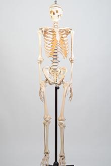Skeleton model #2