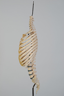 Ribs & spines model