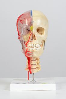 Half transparent skull model