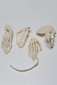 Right Upper Part of the Ilium with Foot, Patela and scapula model