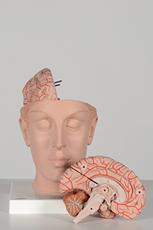 heart and brain model