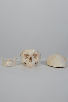Skull model #2