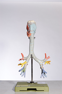 larynx with trachea model