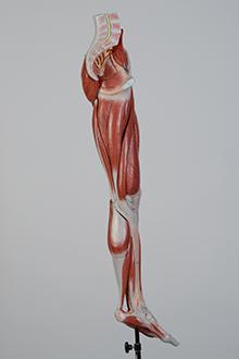 leg muscle model