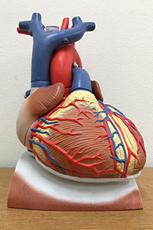 Heart on diaphragm model