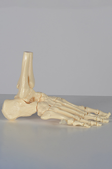 Skeleton - right foot model