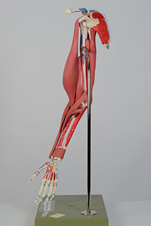 arm muscle model