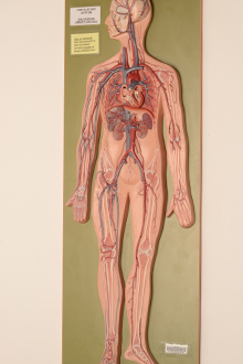 circulatory-system-model