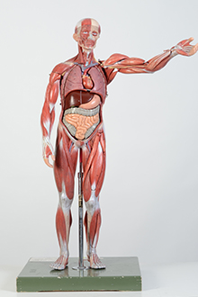 full size muscle model